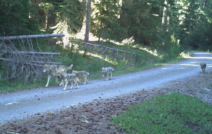 Umpqua National Forest wolf pups