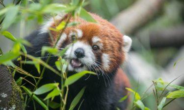 Red panda Moshu